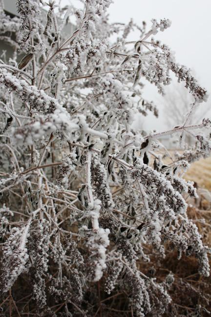 frosty butterfly bush