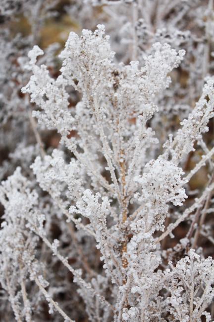 frozen bushes 1