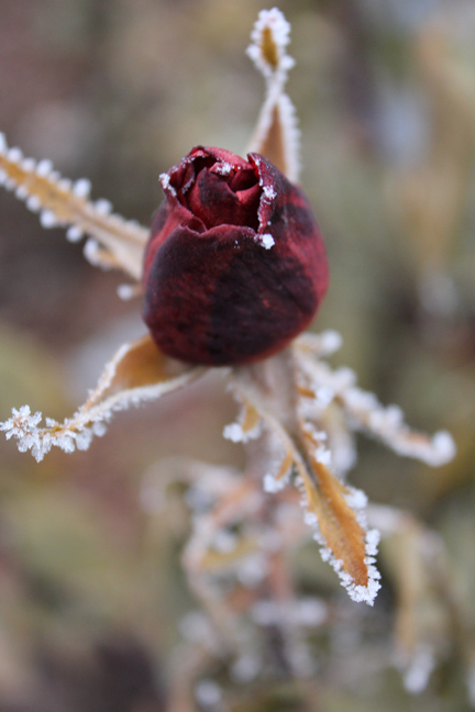 frozen rose red 1