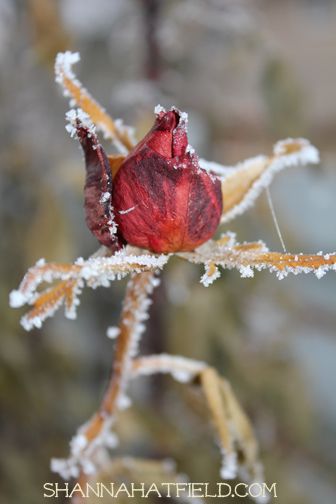 frozen rose red 2