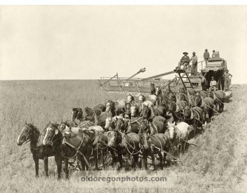 32 mules