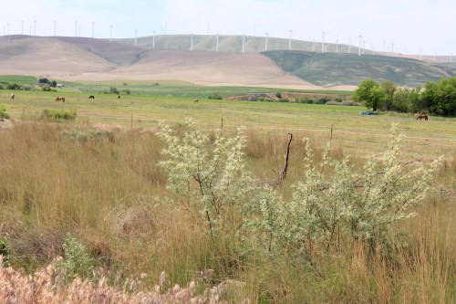 Sagebrush, horses, windmachines, hills