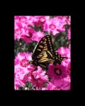 Butterfly-pinks