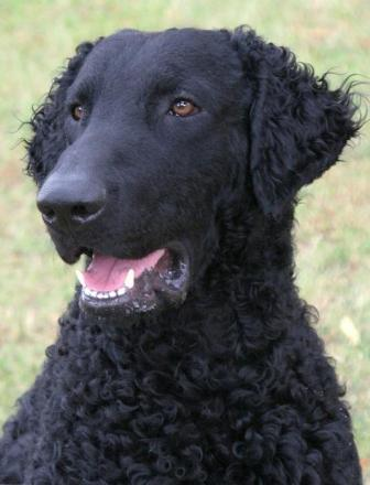 Sir Rigsley (Curly Coated Retriever)
