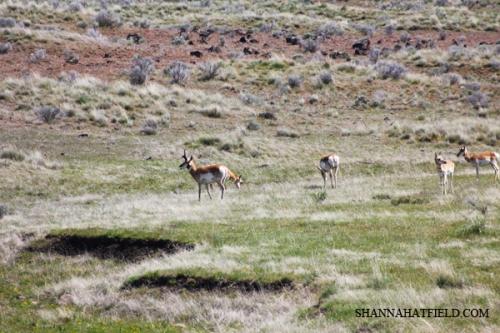 antelope lr