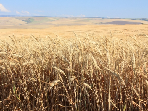 E Oregon Wheat fields