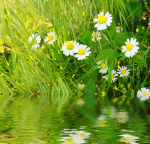 daisys in fresh green grass near pond
