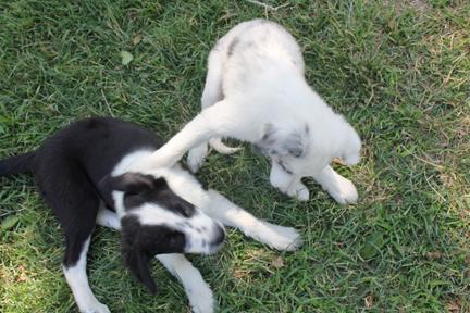 a pup set 1