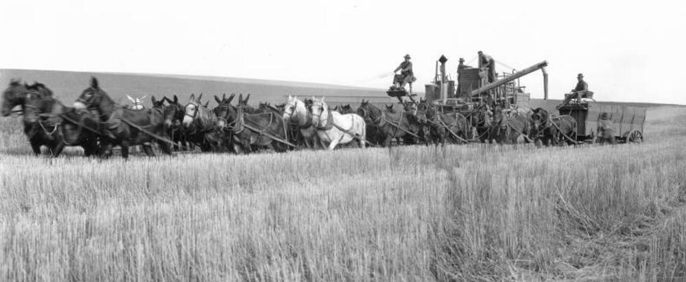 Combine drawn by 26 head of mules and horses in a field of Feder